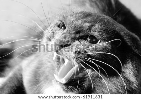 photo very agressive cat, cry, closeup, black and white color