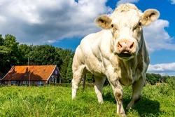 Photogenic cows in a dutch farmer landscape