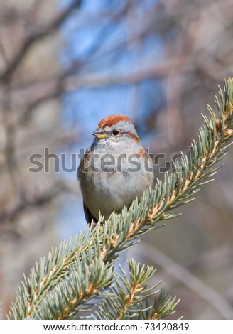 Photograph of a beautiful American Tree Sparrow perched on a spruce branch in an early spring midwestern garden.
