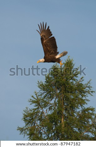 Photograph of a beautiful and majestic bald eagle taking flight from the top of a tall tamarack in a remote northwoods area of Wisconsin.