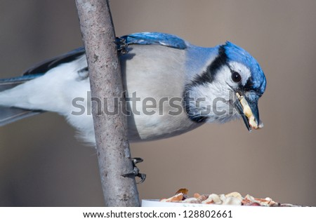 Photograph of a beautiful Blue Jay at a midwest feeding station stuffing its beak full while hoarding peanuts.