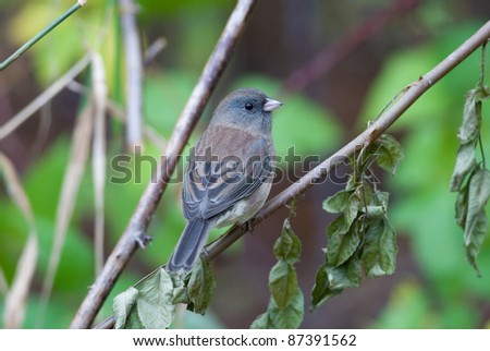 Photograph of a beautiful dark-eyed junco perched on a branch amidst autumn leaves in a midwestern woodland.