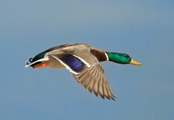 Photograph of a beautiful drake mallard with vivid green head flying with a blue sky as a backdrop.