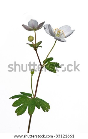 Photograph of a beautiful false rue anemone flower, an early spring ephemeral, isolated against a white background.