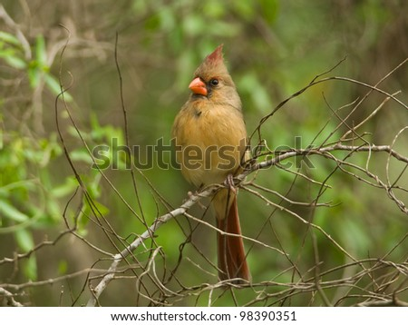 Photograph of a beautiful female northern cardinal perched on a branch amidst a lush green Texas woodland. - stock photo
