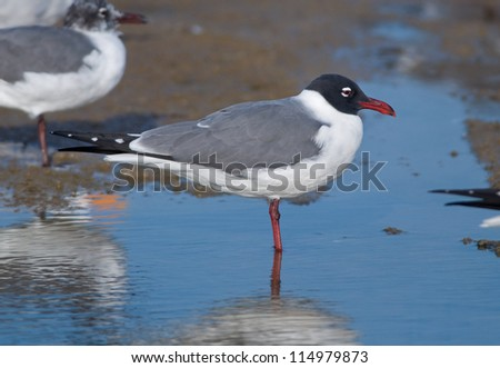 Photograph of a beautiful Laughing Gull in brilliant breeding plumage resting in a tidal pool along a gulf coast shoreline.
