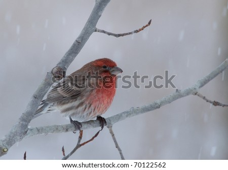 Photograph of a beautiful male House Finch, Carpodacus mexicanus, perched on a branch in a winter midwestern garden.
