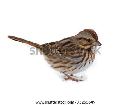 Photograph of a beautifully patterned song sparrow feeding on the ground in a midwestern winter garden nicely isolated against a white background.