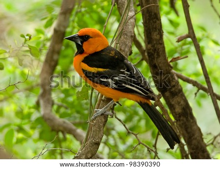 Photograph of a brilliant and beautifully colored black and orange Altamira oriole perched on a branch in a lush south Texas woodland.