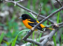 Photograph of a brilliantly colored male Baltimore Oriole perched on a branch in a spring midwestern forest.