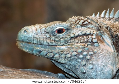 Photograph of a captive Grand Cayman Iguana, or Blue Iguana, Cyclura lewisi, one of the most endangered animals in the world.