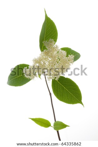 Photograph of a cluster of white flowers, leaves and a woody stem from an Elderberry cutting taken from a garden bush and isolated against a white background.
