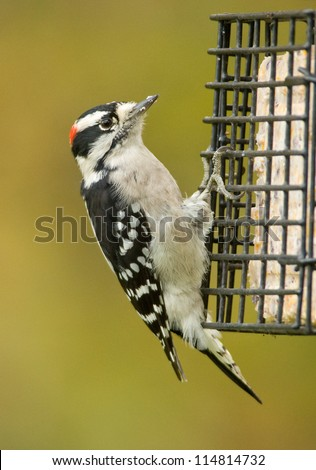 Photograph of a cute black and white Downy Woodpecker in a midwestern garden grasping the side of a birdfeeder while eating suet cakes with a background of the green and golden colors of autumn.