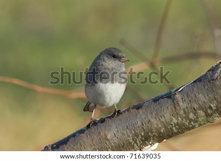 Photograph of a Dark-eyed Junco, Junco hyemalis, perched on a branch in a fall garden.