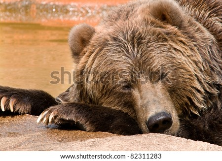 Photograph of a grizzly bear catching a cat nap while soaking in a pool at a midwestern zoo on a hot summer day.