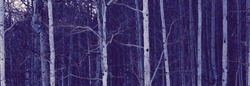 Photograph of a grove of aspen trees.