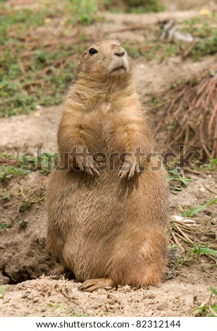 Photograph of a handsome black-tailed prairie dogs outside a burrow. - stock photo