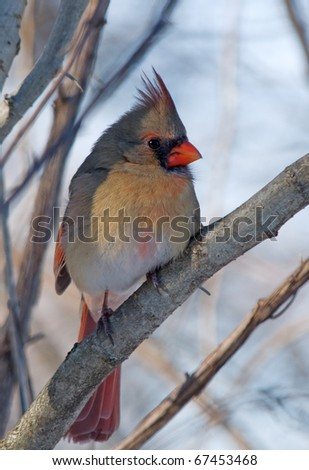 Photograph of a intricately beautiful female Northern Cardinal, Cardinalis cardinalis, perched in a winter woodland in Wisconsin.