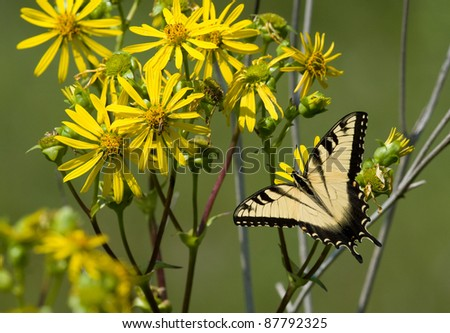Photograph of a large and beautiful Eastern tiger swallowtail butterfly feeding on some bright yellow wild sunflowers in a midwestern summer prairie.
