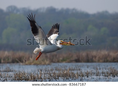 Photograph of a large white pelican displaying its beautiful wingspread as it takes off from the water in a large midwestern marsh.