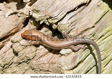 Photograph of a male Coal Skink in breeding colors with a reddish head, basking and feeding along the wooden base of an old outbuilding in a farming area of the southern Appalachians.