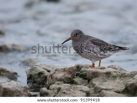 Photograph of a purple sandpiper foraging on a rocky shoreline along Lake Michigan in early winter.