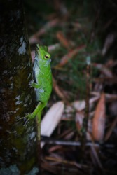 Photograph of a reptile in a tree.