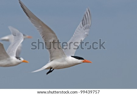Photograph of a royal tern in flight along the gulf coast.