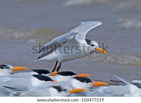 Photograph of a royal tern with its wings spread out as it comes in for a landing amidst a larger group of birds.