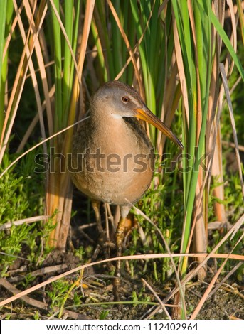 Photograph of a shy and beautiful Clapper Rail as it emerges into stunning early evening light from its hiding spot in the cattails of a gulf coast wetland.