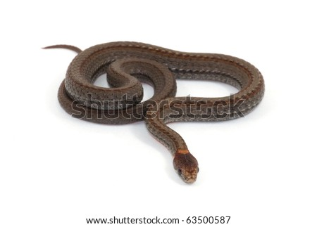 Photograph of a small Red-bellied Snake isolated against a white background.  The Red-bellied is a quite common small snake of the midwest, usually only 6 to 10 inches long.