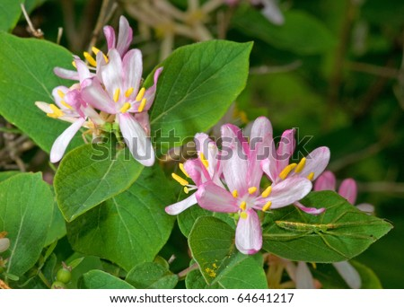 Photograph of a spring time Honeysuckle Bush with its beautiful and very fragrant pink and white flowers.  Hidden in the foliage is a bizarre looking bug that catches the eye.