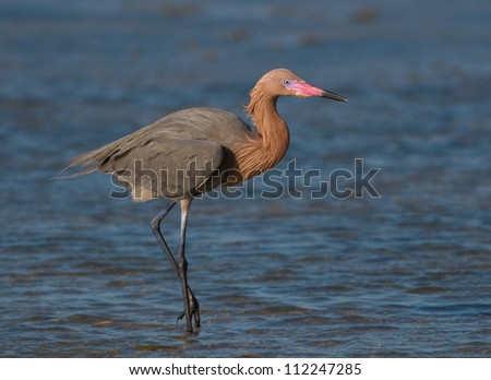 Photograph of a stately and beautiful Reddish Egret feeding in the deep blue shallows waters of a gulf coastal marsh.