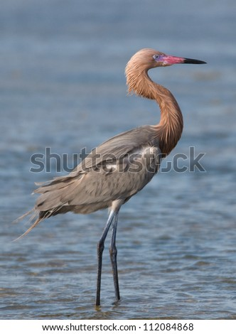Photograph of a stately and beautifully colored Reddish Egret as it looks out over a Texas shallow coastal wetland.