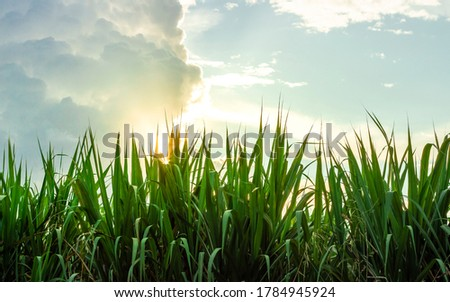 Photograph of a sugarcane crop, at sunset, in the Valle del Cauca Colombia. Foto stock ©