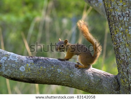 Photograph of a tiny red squirrel sitting on a tree limb in a midwestern forest. - stock photo