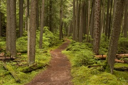 Photograph of a trail tracking deep into the shadowed forest of Glacier National Park in Montana.