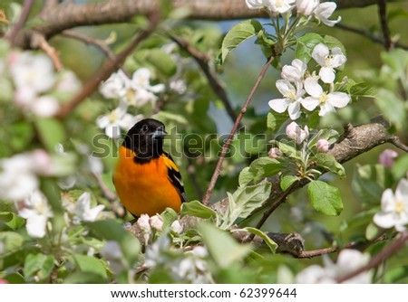 Photograph of an adult Baltimore Oriole sitting amongst the vibrant spring blooms of an Apple Tree.