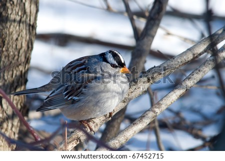 Photograph of an adult White-crowned Sparrow, Zonotrichia leucophrys, perched on a branch in a winter woodland in Wisconsin.