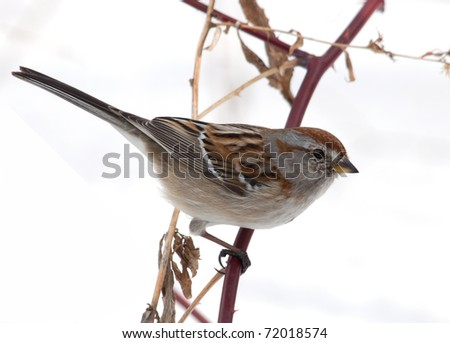Photograph of an American Tree Sparrow perched on a red Wild Rose branch in a winter garden with totally white snowy background.