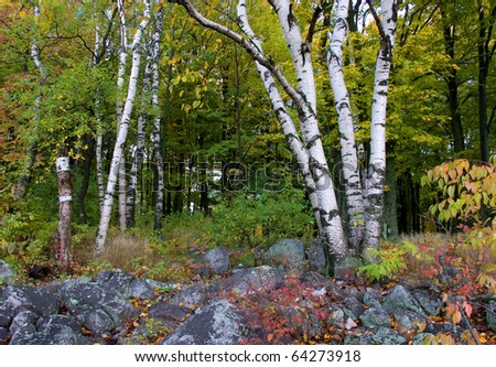 Photograph of an autumn forest, high on a large hill called Rib Mountain in the northwoods of Wisconsin with splendid changing colors, moss, rocks and the brilliant white bark of a Birch Tree.