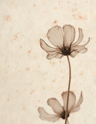 photograph of cosmos flower in sepia tone overlay on old mulberry paper texture background, vintage style, vintage background..