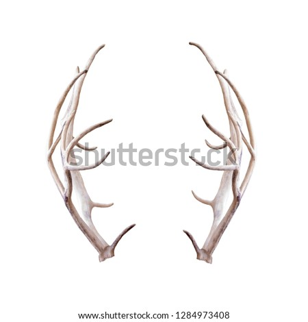 Photograph of pair of reindeer antlers extracted and isolated on white for compositing #1284973408