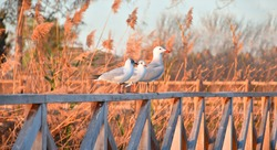 Photograph of seagulls resting on a wooden fence. High quality panoramic image.