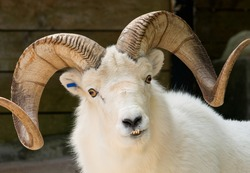 Photograph of the head of a male Dall Sheep, Ovis dalli, with a spectacular rack and staring straight into the camera.