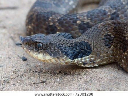 Photograph of the head of an Eastern Hognose Snake while coiled on a sand blow area of a midwestern state forest.