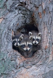 Photograph of three sibling raccoons poking their head out of a hole in a large tree looking at the photographer.