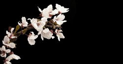 Photograph of white fruit flowers on black background, Photo with space for advertising, blank space for your promotional text or advertising content, horizontal photo,
