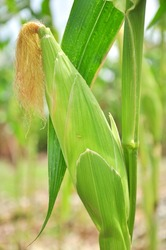 photographed by a close up ears mature corn in Thailand
