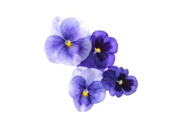 Photographed close-up of 4 Viola flowers on white background. Different shades of purple/violet with yellow heart. Backlit, very delicate, almost translucent.